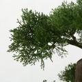 Bonsai v bílém květináči 33 cm